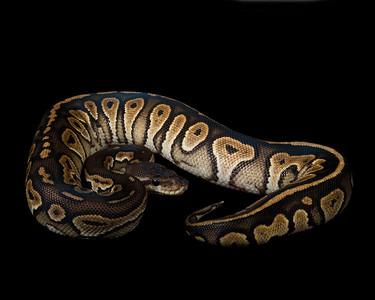 Cinnamon Ball Python