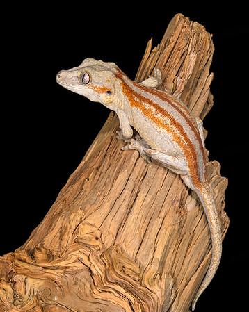 Gargoyle Gecko (Captive)