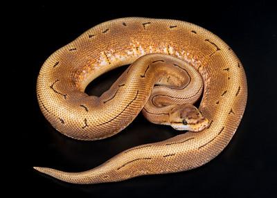 Spinner male