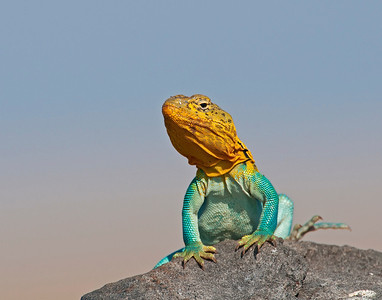 Collared Lizard (Male), Wichita Mountains Wildlife Refuge, Oklahoma