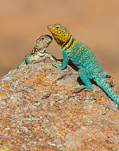 Collared Lizard (male and female), Wichita Mountains Wildlife Refuge, OK