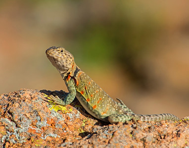 Collared Lizard (female), Wichita Mountains Wildlife Refuge, OK