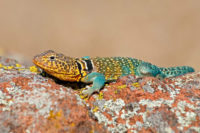 Eastern Collared Lizard Male, Wichita Mountains Wildlife Refuge, Oklahoma