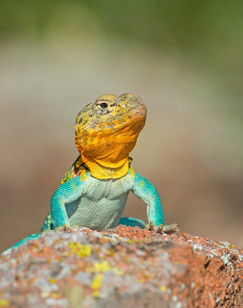 Eastern Collared Lizard (Male),  Wichita Mountains National Wildlife Refuge, OK