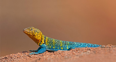 Eastern Collared lizard, Wichita Mountains Wildlife Refuge, OK
