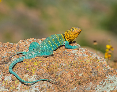 Collared Lizard (male), Wichita Mountains Wildlife Refuge, OK