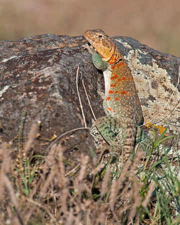 Eastern Collared Lizard, Wichta Mountains Wildlife Refuge, OK