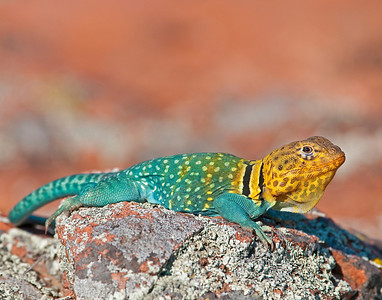 Collared Lizard, Male, Wichita Mountains Wildlife Refuge, Oklahoma