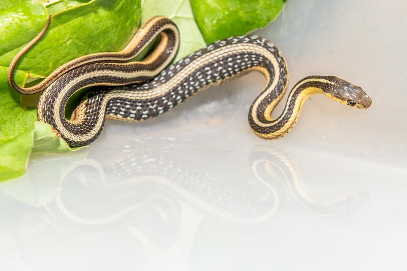 Common garter snake (Thamnophis sirtalis). Maple Grove, MN, USA.