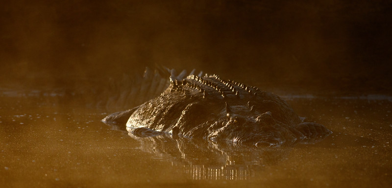 Large male Saltwater Crocodile at Shady Camp