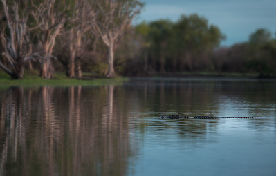 Large male Saltwater Crocodile at Yellow Waters, Kakadu.