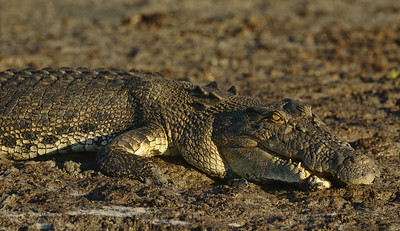 Salty missing part of lower jaw due to fighting.  Shady Camp NT.