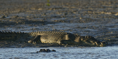 Saltwater Crocodile on mud flats during low tide at Shady Camp, NT.