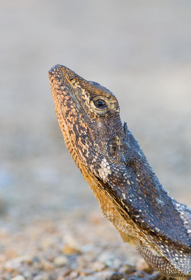 Frill-necked Lizard <i>(Chlamydosaurus kingii)</i>