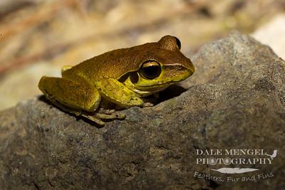 Wilcox's Frog (Litoria wilcoxii)