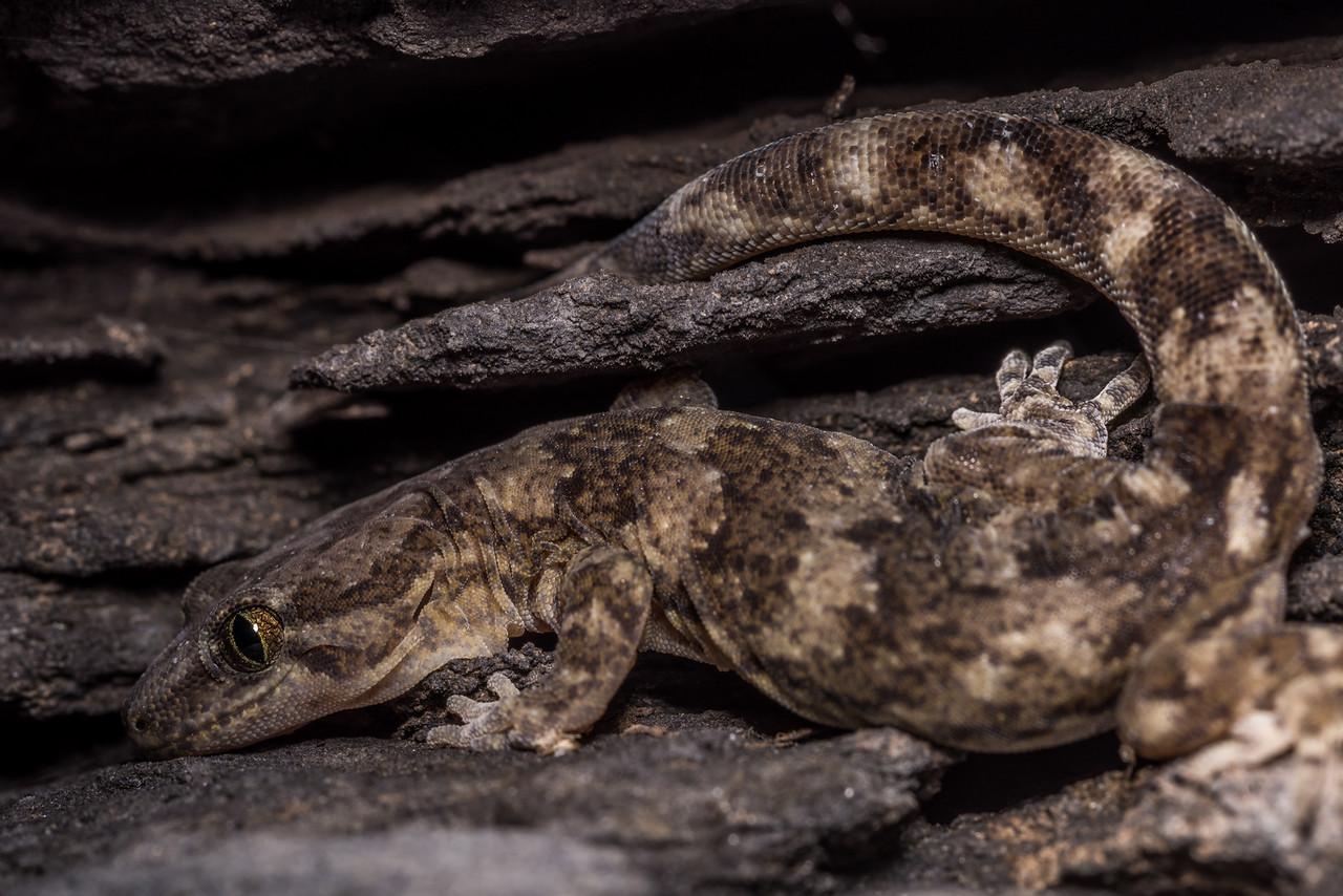 Kōrero gecko, western form (Woodworthia spp.). Central Otago.