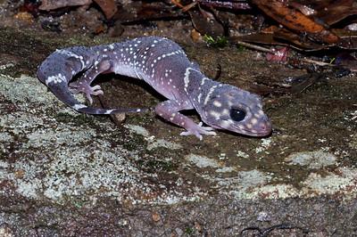 Barking Gecko (Underwoodisaurus milii)