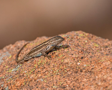 Eastern Fence Lizard (Prairie Lizard), Wichita Mountains Wildlife Refuge, OK
