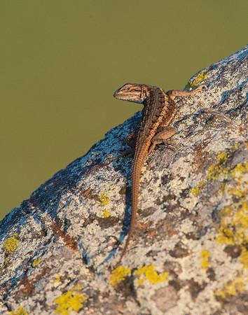 Fence Lizard, Wichita Mountains Wildlife Refuge, OK