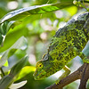 Jackson Chameleon Female<br /> Female Jackson Chameleon Hanging Out in Navel Orange Tree