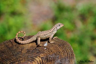 Northern Curly-tailed Lizard. Leiocephalus carinatus armouri. Chokoloskee. Florida. JPat_170302__D3S2640