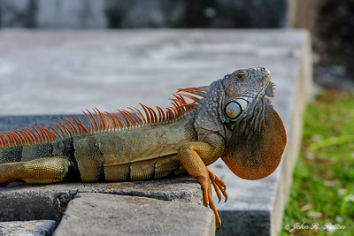 Iguana displaying