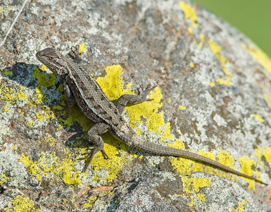 Fence Lizard, Wichita Mountains Wildlife Refuge, OK