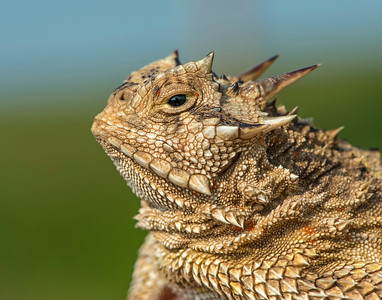 Texas Horned Lizard, Hackberry Flats Wildlife Management Area, OK