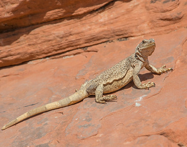 Chuckwalla, Valley of Fire State park, NV