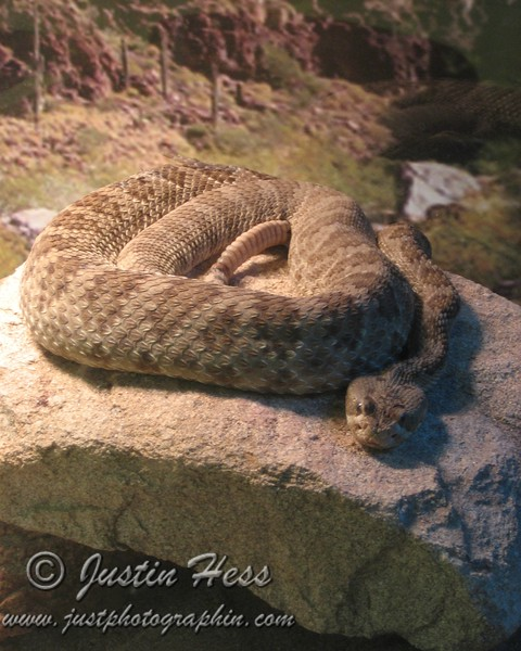 This Rattle Snake was located in a glass tank inside the visitor center at San Tan Regional Park, Arizona.