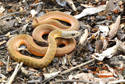 Keelback/Freshwater Snake (Tropidonophis mairii)