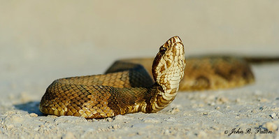 Florida Cottonmouth 3