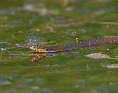 Blotched Water Snake, Wichita Mountains Wildlife Refuge, OK