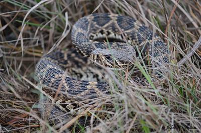 Eastern Diamonback Rattlesnake 1