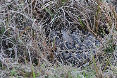 Eastern Diamonback Rattlesnake  3