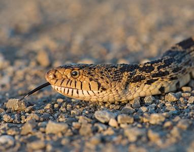 Bull Snake, Hackberry Flats Wildlife Management Area, OK