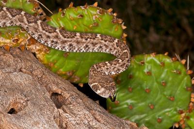 Western Diamondback Rattle Snake, Oklahoma