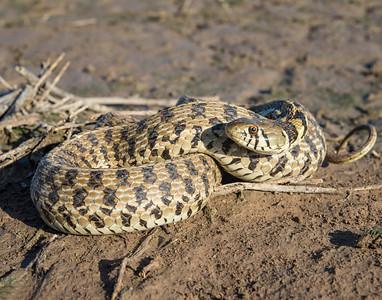 Checkered Garter Snake, Hackberry Flats Wildlife Management Area, OK