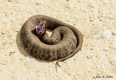 Florida Cottonmouth 1