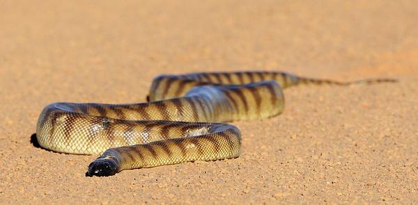 Black-headed Python on a road near Borroloola