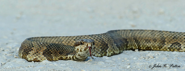 Florida Cottonmouth 2