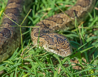 Prairie King snake, Hackberry Flats Wildlife Management Area, OK