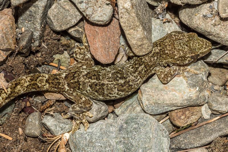 Southern Alps gecko / moko tāpiri  (Woodworthia spp.). Aoraki/Mount Cook National Park.