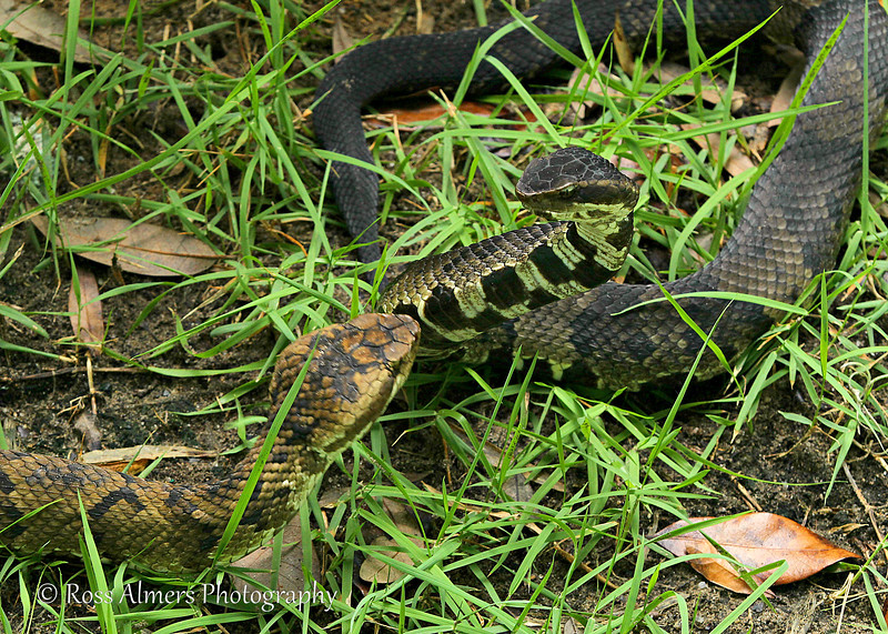 Cottonmouth Faceoff
