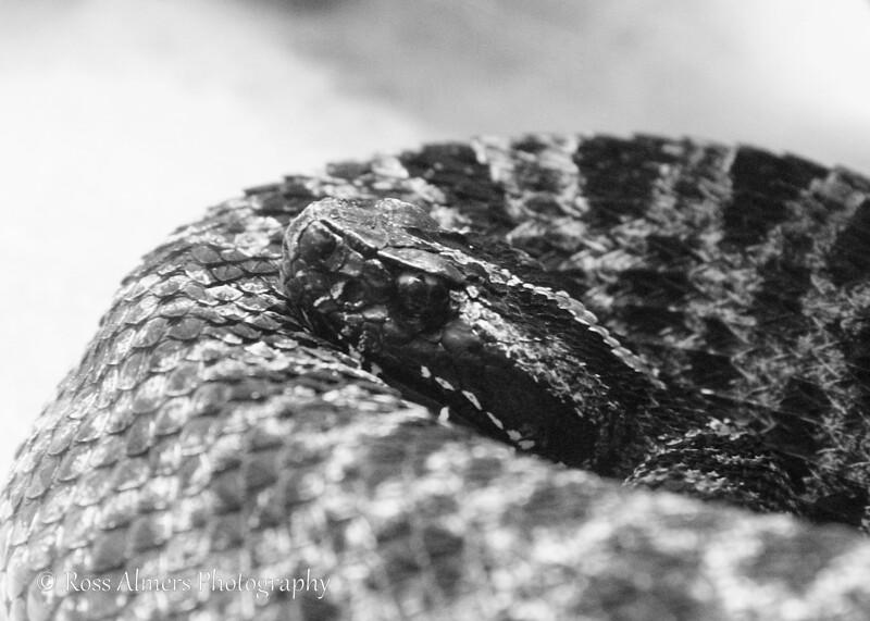 Pygmy Rattlesnake (Sistrurus miliarius)