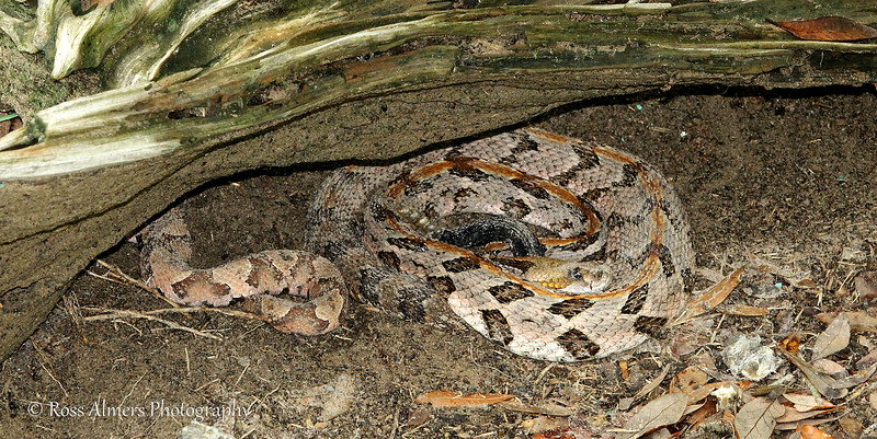 Canebrake / Timber Rattlesnake (Crotalus horridus) with a Copperhead (Agkistrodon contortrix)