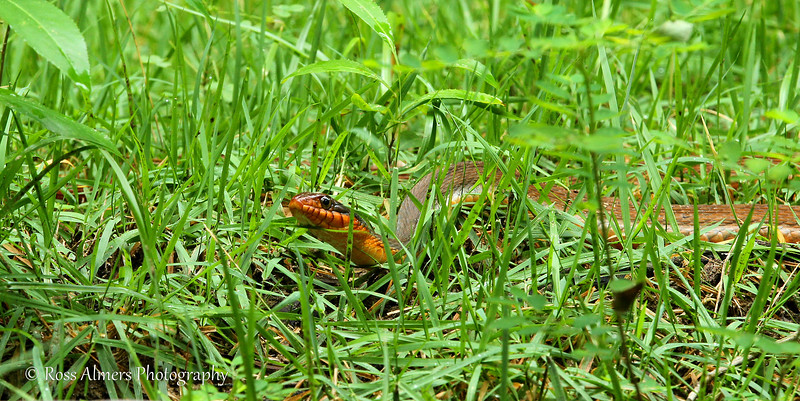 Redbelly Water Snake (Nerodia erythrogaster erythrogaster)