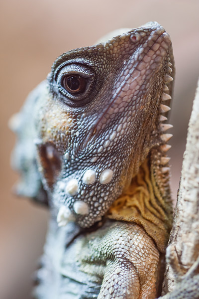 Whater Dragons - Canberra Reptile park - 2014