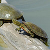 Western Painted Turtle<br /> Socorro County, New Mexcio<br /> Bosque del Apache National Wildlife Refuge