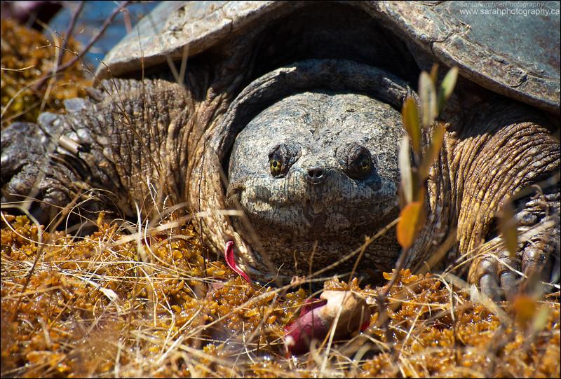Snapping Turtle <i>Chelydra serpentina</i>